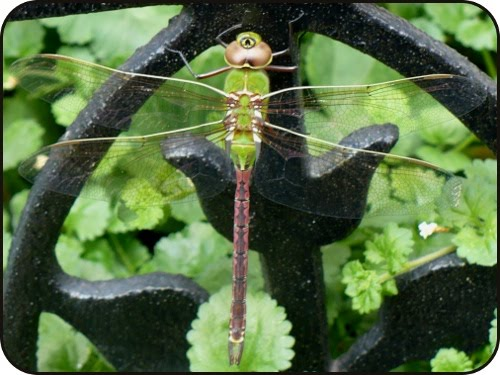 One-eyed, flying green dragonfly