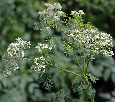 A Writers Guide to Poison Hemlock