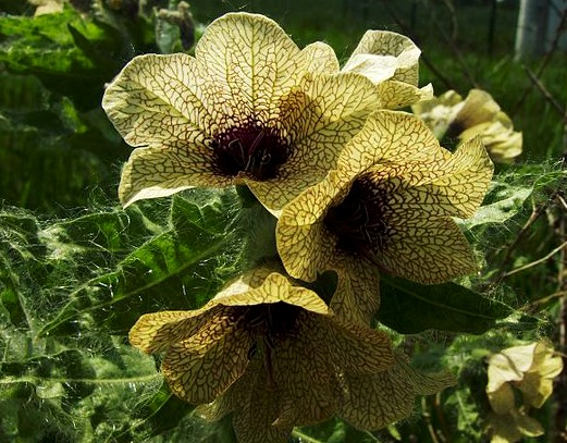 A Writers Guide to Henbane
