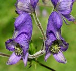 A Writers Guide to Monkshood