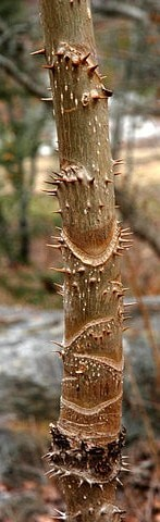 Devil's Walkingstick stem