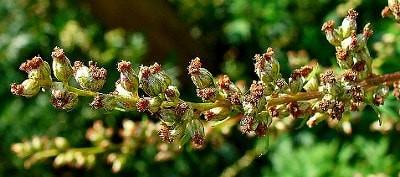 Mugwort Flowers