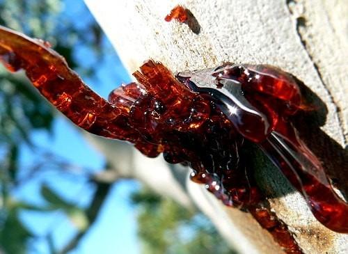 tree resin bleeding from tree