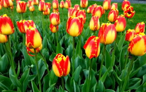 A Tulip Doesn't Strive to Impress
