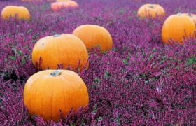 pumpkinflowersfeatured