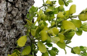 Eastern Mistletoe