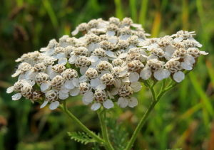 A Writers Guide to Yarrow